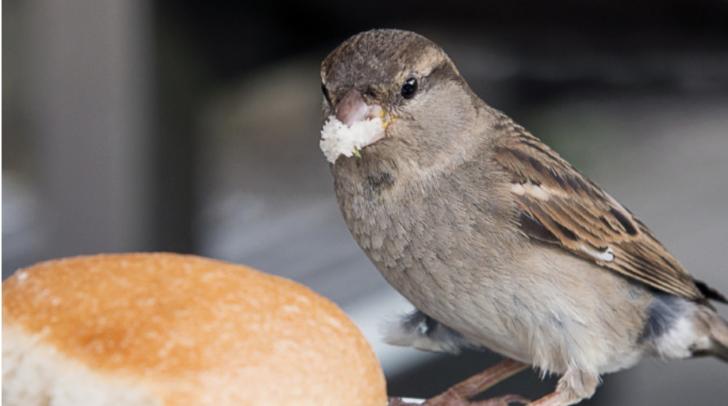 Vögel reagierten benommen auf das Brot, das in der Wiese lag