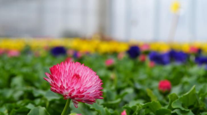 Rund 41.000 der bunten Stiefmütterchen (Violen) und 2000 Stück der herzigen Gänseblümchen (Belis) haben die Mitarbeiterinnen und Mitarbeiter des Stadtgartens in den Glashäusern unserer Stadt herangezogen.