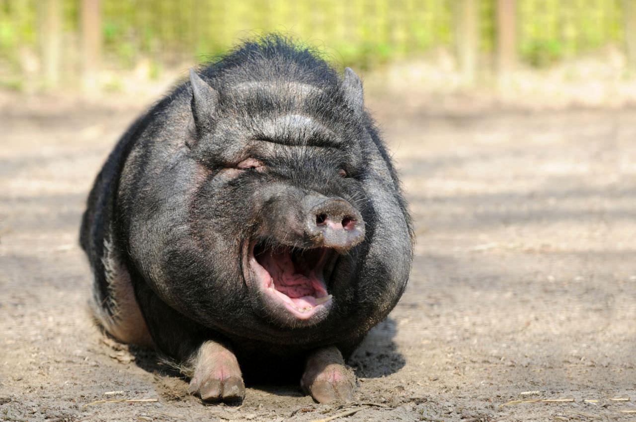 Lachendes Schwein