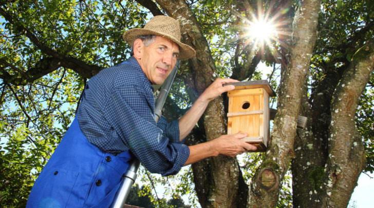 Rentner auf Leiter hngt Nistkasten in Baum