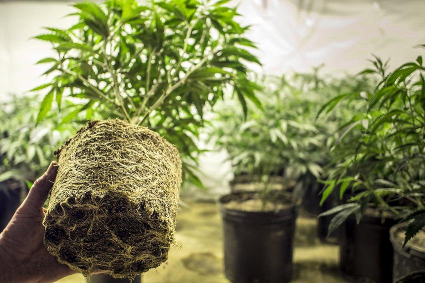 Cannabis Marijuana Plant Roots in Transplanting