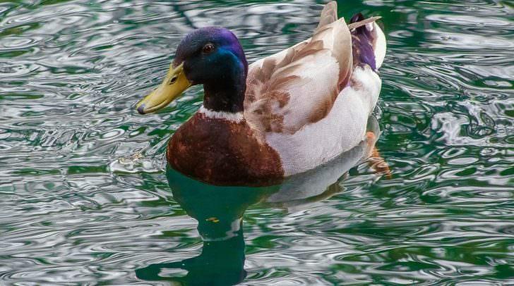 duck-1098070_960_720
