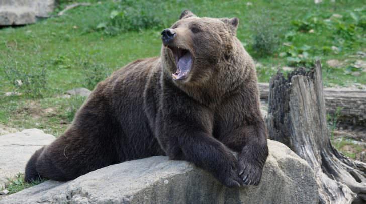 """Heuer hat der Bär """"Rudolf"""", der in Villach und am Dobratsch gesichtet wurde, zwei Schafe gerissen, einige Bienenstöcke wurden zerstört"""