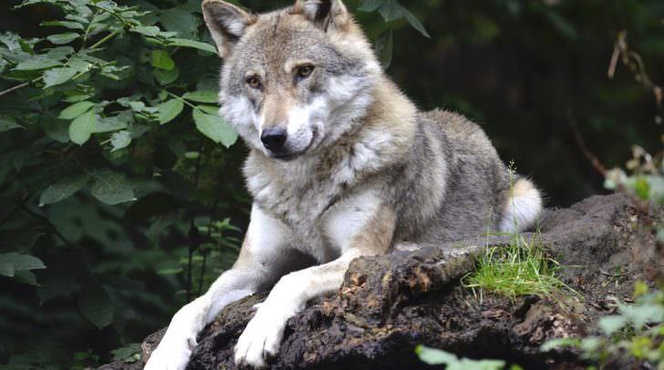 Johann sagt, dass die Angst vor großen Wolfsrudeln völlig unbegründet sei.