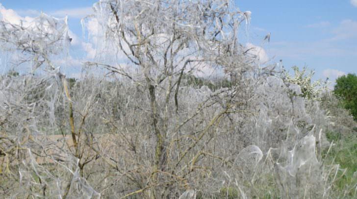 Bei starkem Befall der Gespinstmotte kann ein kompletter Baum eingehüllt werden.