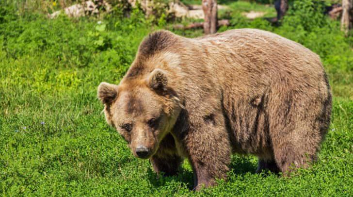 Schon oft wurden in der Gegend um Feistritz Bären gesichtet.