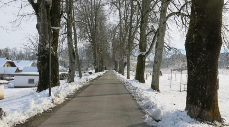 Lindenallee Rosegg im Februar 2018: die alten Bäume stehen nicht nur an einer stark frequentierten Straße, sondern auch neben einer Siedlung.