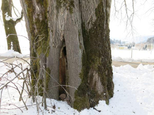 Die teils 240 Jahre alten Bäume sind meist komplett hohl und morsch. Dieser hier steht zwischen Straße und Siedlung.
