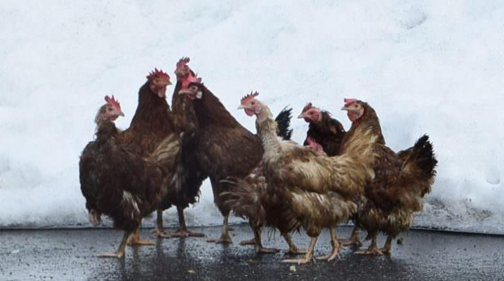 Die Forderungen des Tierschutz-Volksbegehrens sehen ein Ende des Systems Massentierhaltung vor.