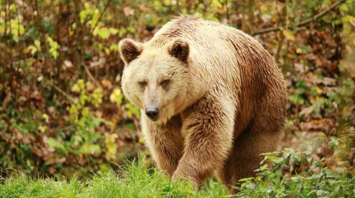 Schon zum wiederholten Mal plünderte der Bär Bienenstöcke im Rosental.