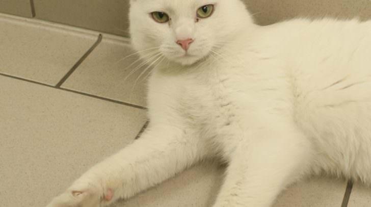 Benni ist eine menschenbezogene und verschmuste Katze.