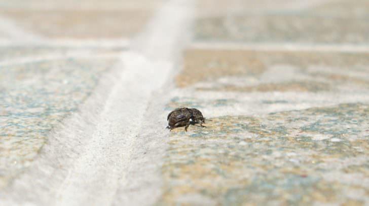 Dieser Käfer sorgt momentan bei vielen Kärntnern für Aufregung.