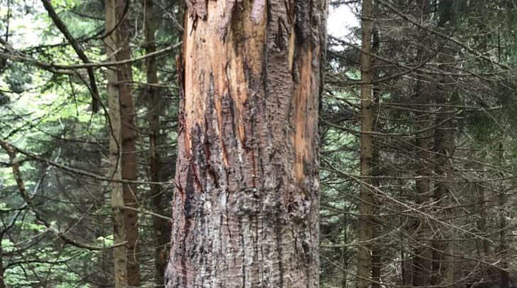 Der Bär spazierte nur knapp vor dem Bürgermeister und markierte an den Bäumen sein Revier.