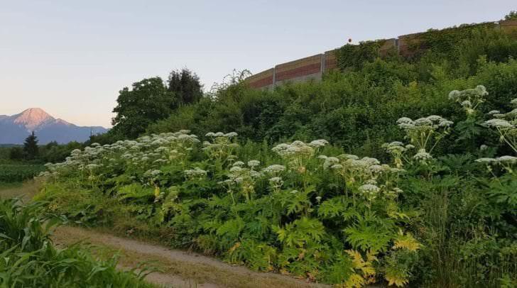 In der Blüte wird der Riesen-Bärenklau bis zu 2 m hoch.