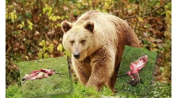 Seit gestern wurden auf der Feistritzer Alm zwei Schafe von einem Bären gerissen. Der Schaden für die Besitzer ist groß.