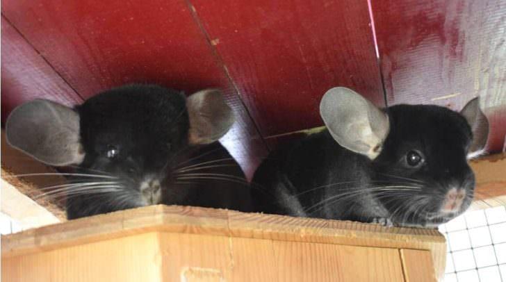 Diese zwei süßen Chinchillas suchen ein neues zu Hause.