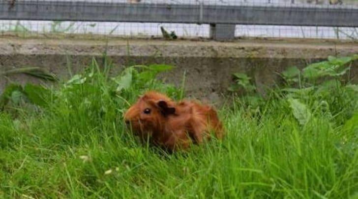 Möchtest du einem süßen Meerschweinchen ein neues zu Hause geben?