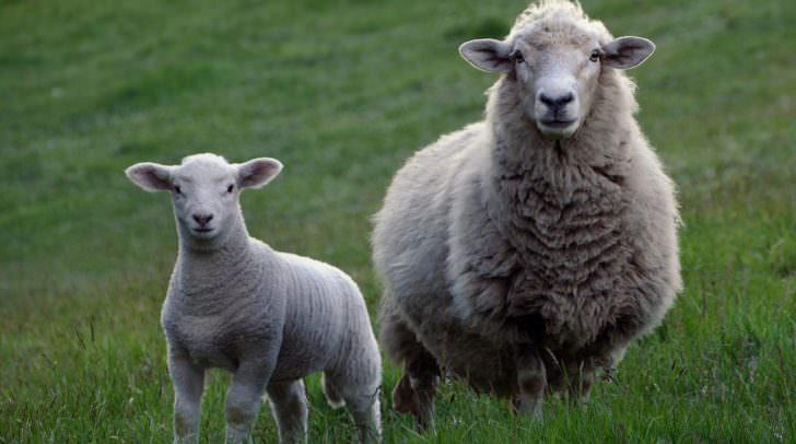 Das erlegte Schaf wurde teilweise bis auf die Knochen abgenagt.