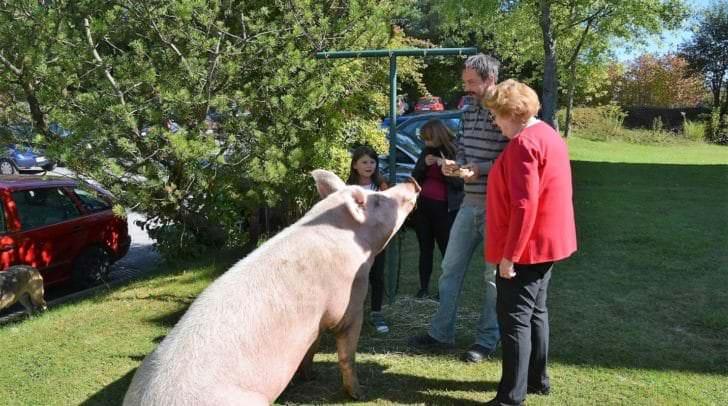 Schwein muss man haben – und in diesem Fall ein großes, das für Unterhaltung im Streichelzoo sorgte.