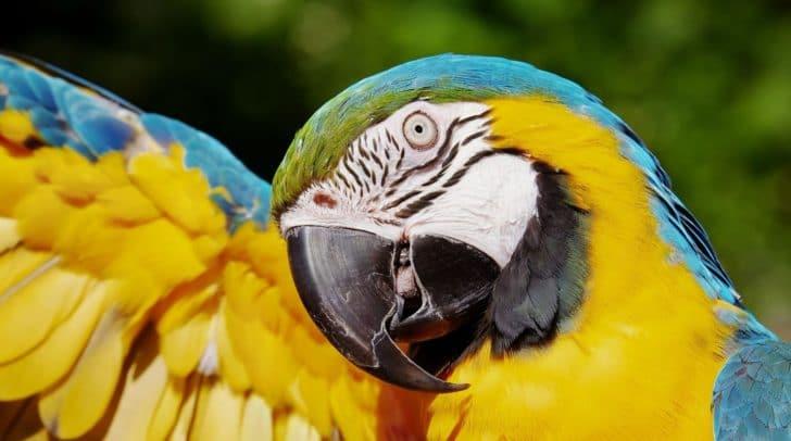 Das Gefieder des Gelbrustara ist an der Oberseite blau, an der Brust und am Bauch goldgelb gefärbt.