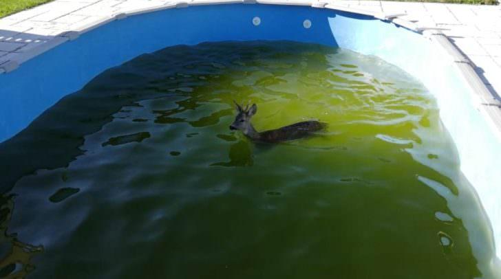 Der Rehbock konnte den Pool nicht selbstständig verlassen.
