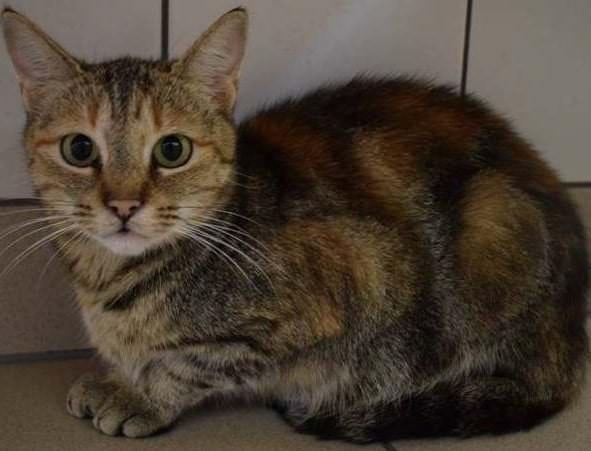 Katzendame Miriam möchte von einem neuen Besitzer verwöhnt werden.