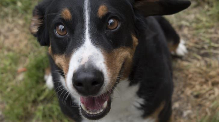 Dorli, Kärntens größter Schoßhund?