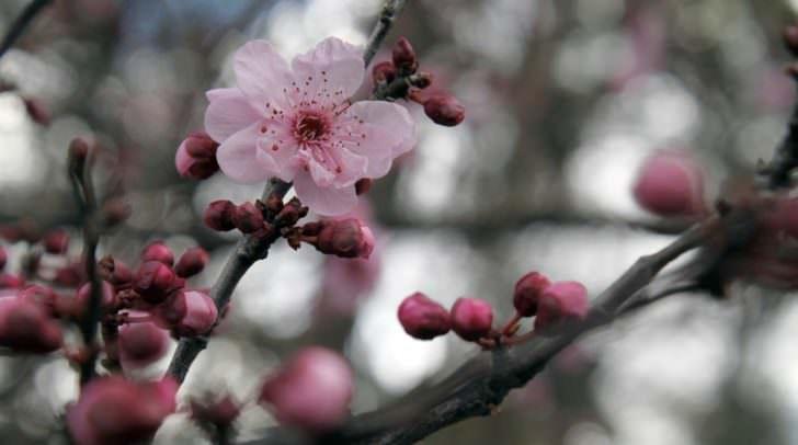 Japanische Zierkirschen-Bäume werden in der Ferdinand-Jergitsch-Straße entfernt und später neu angelegt