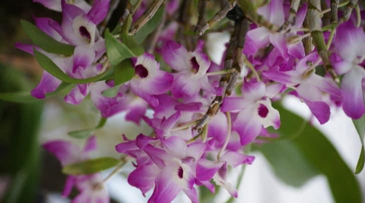 Eine Orchidee mit rund 2.000 Blüten wird ausgestellt werden.
