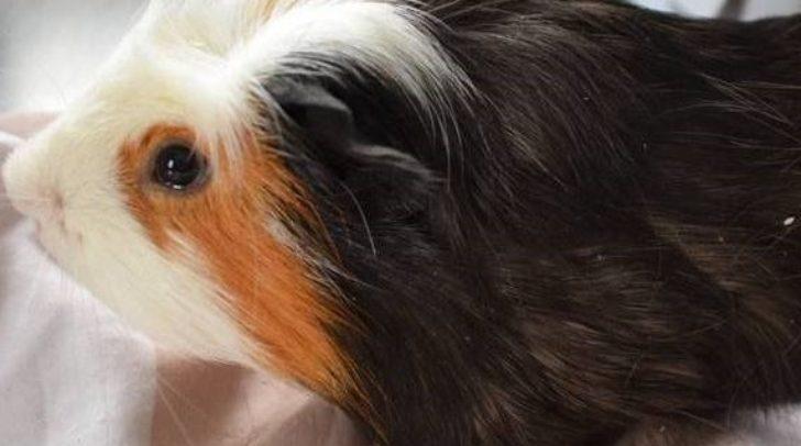 Möchtest du Meerschweinchen Vani ein neues Zuhause geben?