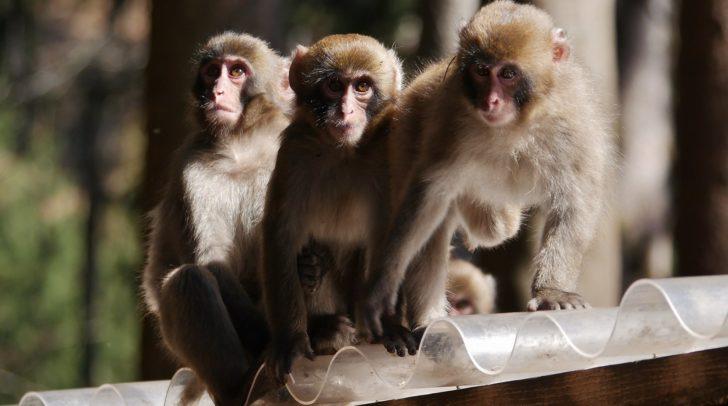 Besonders die weiblichen Affen sind von der Klimaveränderung betroffen