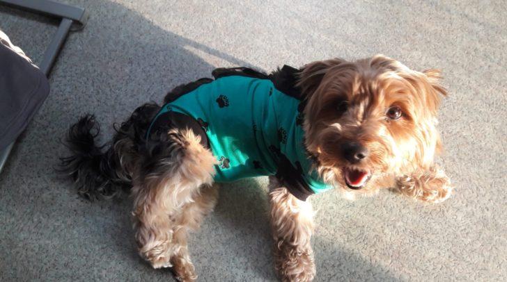 Der Yorkshire Terrier Benni wurde von einem freilaufenden Hund verletzt und musste tierärztlich behandelt werden.