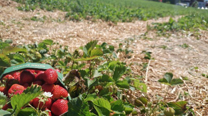 Die Erdbeeren warten im Erdbeerland in Egg am Faaker See nur darauf, gepflückt zu werden.