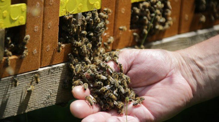 Die Honigbienen sind die Hauptdarsteller des besonders süßen Honigfestes.