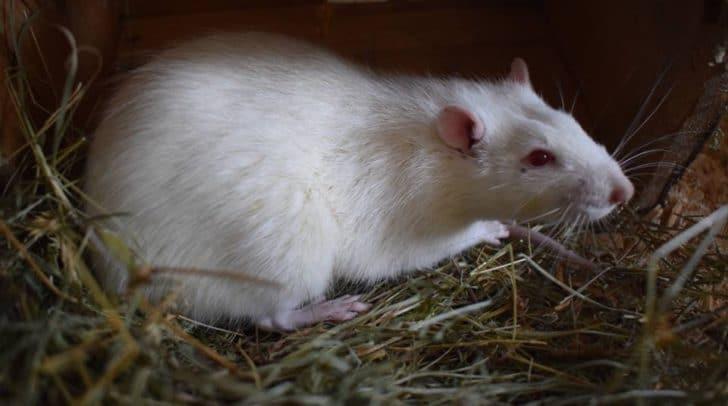 Dieser Rattenbub vermisst seine Besitzer! (c) Tierheim Villach