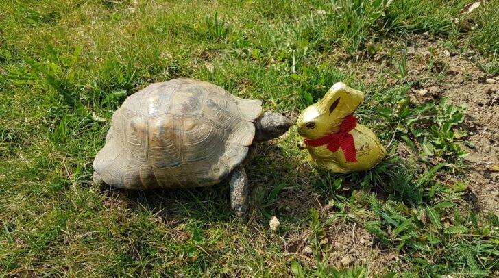 Die kleine Osterschildkröte sucht ihren Besitzer.