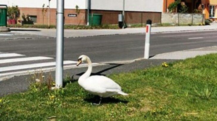 Das Tier hatte sich nach Möllbrücke verirrt.