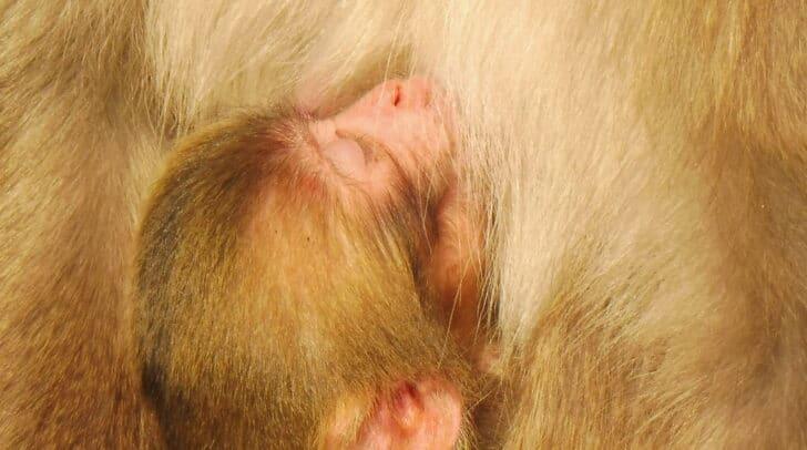 Drei junge Affen wurden heute am Affenberg geboren.