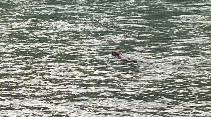 Der Biber schwamm nur wenige Meter neben dem Künstler vorbei.