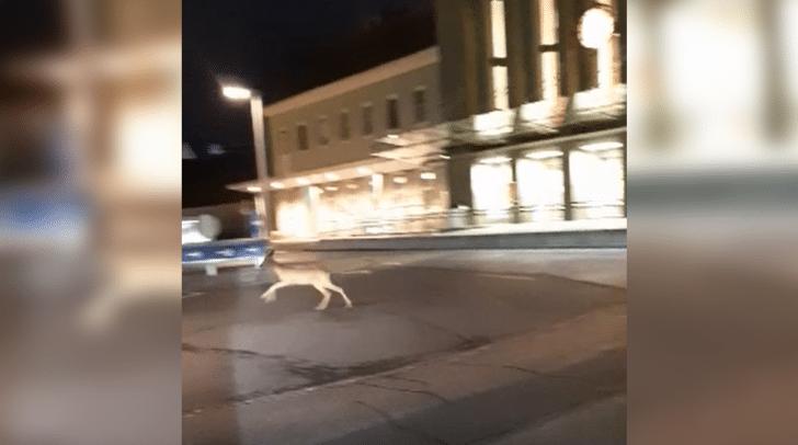 In den frühen Morgenstunden spazierte das kleine Bambi über die Zeidler-von-Görz-Straße in Richtung Hauptbahnhof.