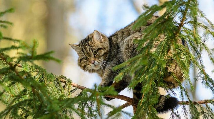 Die Wildkatze gilt in Österreich als