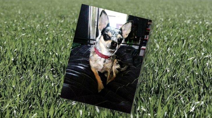 Die siebenjährige Chihuahua-Dame Stella wurde am gestrigen Samstag mit Rattengift vergiftet und starb in der darauffolgenden Nacht.