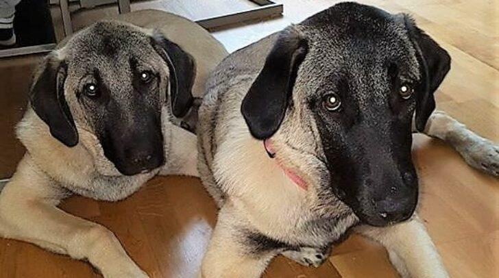 Sila und Cakil lebten ein ruhiges Hundeleben bis vor wenigen Monaten die Giftanschläge begannen.