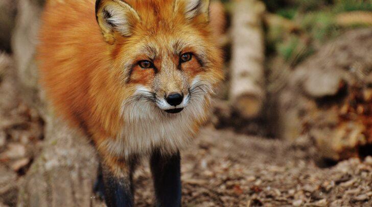 Der Fuchs war über den Balkon und die offenstehende Balkontüre in ein Hotelzimmer in Hermagor gelangt.
