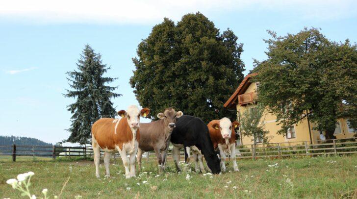 17 Rinderrassen unter einem Dach. Am Foto Fleckvieh, Braunvieh und Holstein.