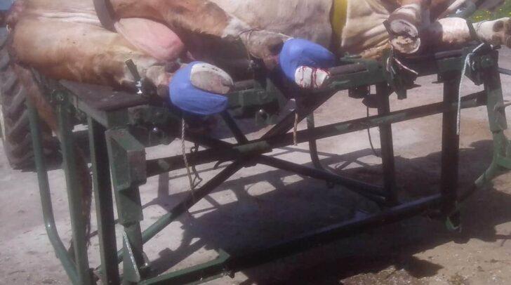 Viele Kühe bluten stark und leiden qualvolle Schmerzen. Oft wird in lebendes Gewebe geschnitten. Die Folge ist nicht selten die Notschlachtung.