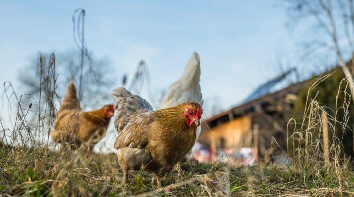 Ab morgen werden die Präventionsmaßnahmen um Nutzgeflügel vor Kontakt mit Wildvögeln zu schützen wieder zurückgenommen.