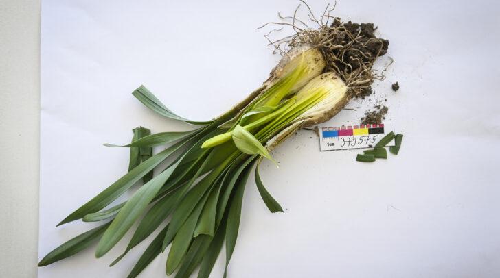 Die Narzisse ist eine sehr giftige Pflanze.